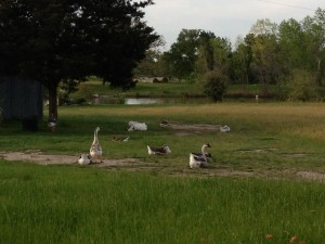 yes, mating season and these chinese geese are loud...